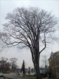 Image for American Elm - Exhibition Place, Toronto, ON
