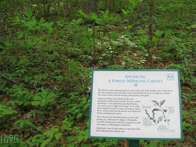 Spicebush is found in the Landmark Forest -- nature`s medicine cabinet.