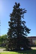 Image for LARGEST White Spruce tree in Nebraska - Chadron, NE