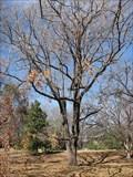 Image for Regional Champion Sawtooth Oak