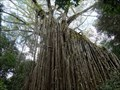 Image for Curtain Fig Tree - Yungaburra - QLD - Australia
