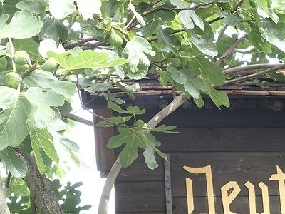 Fig tree with figs at the arch