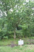 Image for Bicentenary of the US Constitution Tree -- near Magna Carta  Memorial, Old Windsor, Surrey, UK