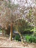 Image for David Leslie Tree - Florida Botanical Gardens - Largo, FL