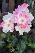 Image for Nelson Diamond Jubilee Memorial Rose Garden - Nelson, British Columbia