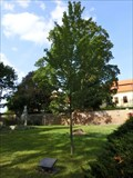 Image for Millennium tree - Svojsin, Czech Republic