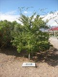 Image for Ohlerking Elm - Boulder City, NV
