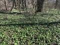 Image for Wild Garlic Cover / Porosty cesneku medvedího - Vratimov, Czech republic