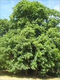 Image for Cappadocian Maple - Winslow- Bucks