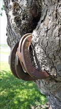 Image for Horseshoe Devouring Cherry Tree at Tyee Farm - Benton County, OR