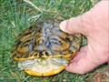 Image for Pond Slider or Trachemys scripta  - Galt CA