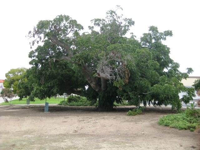 Paradox Hybrid Walnut Tree