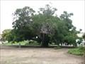 Image for Paradox Hybrid Walnut Tree - Whittier, CA