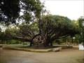 Image for Dracaena draco - Ajuda's Botanic Garden - Lisbon, Portugal