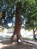 Image for Bicentennial Moon Tree  -  Monterey, CA