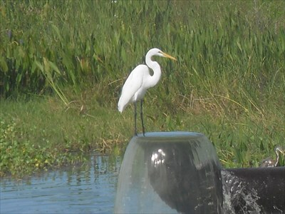...great white heron at the water inlet to cell 2.