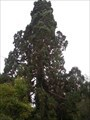 Image for Sequoia sempervirens