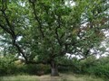 Image for Sessile oak (Quercus petraea) - Krk, Croatia