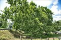 Image for Pinchot Sycamore - Simsbury CT