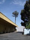 Image for Santa Clara's Strangest Tree - Santa Clara, Ca