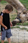 Image for Feed the Camel - Big Joel's Safari - Wright City MO