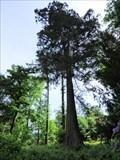 Image for Riesenmammutbaum - Zoo Wuppertal, NRW, Germany