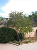 Image for Gatewood Tree - Florida Botanical Gardens - Largo, FL