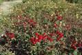 Image for A.C. Postel Memorial Rose Garden - Santa Barbara California