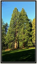 Image for Sequoiadendron giganteum - Redwood Park — Surrey, BC
