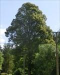 Image for Tree of the republic - Starý Svojanov, Czech Republic