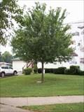 Image for Harold E. Schutte Tree, Augusta, Illinois.
