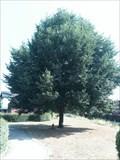 Image for Koningsboom, Tongeren, Limburg, Belgium