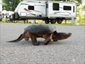 Image for Snapping Turtle Crossing in Waterloo Recreation Area - Grass Lake, Michigan