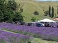 Image for Whitebay Lavender Farm. Napier. New Zealand.