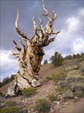 Image for Methuselah - The World's Oldest Tree