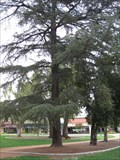 Image for Metasequoia Tree - Library Park - Monrovia, CA