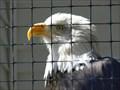 Image for Tourism - Alaska Raptor Center (Sitka, Alaska)