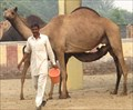 Image for Only - Camel Research Center in Asia - Bikaner, India