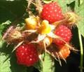 Image for Wye Raspberries & Blackberries