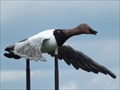 Image for Canvasback Duck - Minnedosa MB