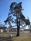 Image for TX State Champion Incense Cedar Tree -- Garland TX