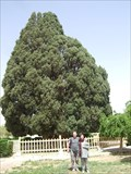 Image for Old cypress in Abarkuh.
