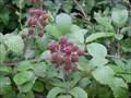 Image for Blackberries, Elderberries, Hips, Haws and Sloes