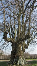 Image for OLDEST tree in the Netherlands