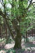 Image for Valdštejnuv dub na Lukove / Valdštejn`s Oak on Lukov