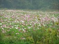 Image for Fields of Wild Flowers - West Jefferson, North Carolina