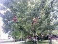 Image for Salem Shoe Tree - Illinois