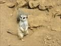 Image for Lemurs and Meerkat - San Francisco, CA