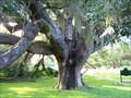 Image for Oak Tree - LOCH HAVEN PARK - Orlando, Florida