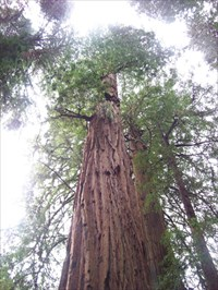 Gifford pinchot tree muir woods national monument california